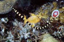 Banded Pipefish - Doryrhamphus dactyliophorus - Pipefish - Banded Pipe Fish