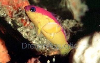 Diadema / Purple Stripe Pseudochromis - Pseudochromis diadema - Diadem Dottyback Fish