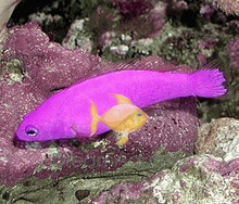 Strawberry Purple Dotty back fish - Pseudochromis porphyreus - Magenta Dottyback - Purple Dottyback - Strawberry Dottyback Fish