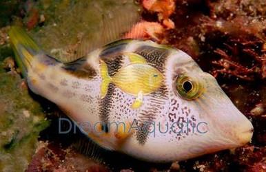 Saddle Valentini Puffer - Canthigaster valentini - Valentini's Sharpnose Puffer - Saddled Toby Puffer