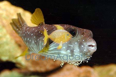 Starry Puffer - Arothron hispidus - Stars -N- Stripes Puffer