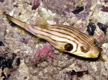 Striped Puffer - Arothron manilensis - Narrow-lined Toadfish - Narrow-Striped Puffer Fish - Manila Puffer