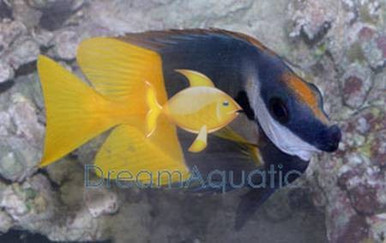 Fiji Bicolor Foxface Rabbitfish - Lo uspae - Fiji Foxface - Bicolored Fox face Rabbit Fish