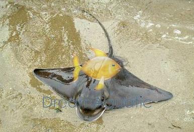 Bat Ray - Myliobatis californica - California Bat Ray