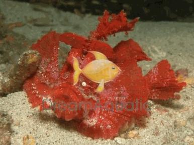 Rhino Scorpionfish - Rhinopias frondosa - Rhinopias - Purple Tassled Rhino Scorpionfish