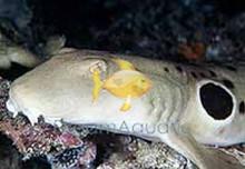 Epaulette Shark - Hemiscyllium ocellatum