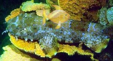 Wobbygong Shark - Orectobobus species - Japanese Wobbegong