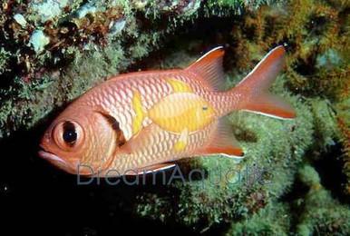Big Eye Squirrelfish - Myripristis species - Blotcheye Soldierfish - Red Squirrel Fish - Bigeye