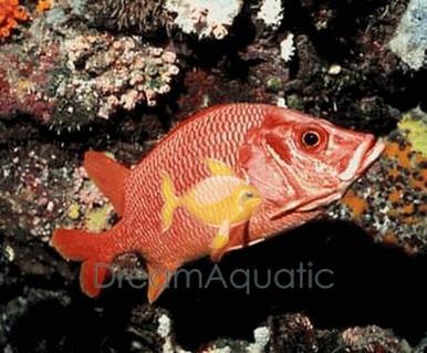 Striped Squirrelfish - Sargocentron xantherythrum - Hawaiian Squirrel Fish