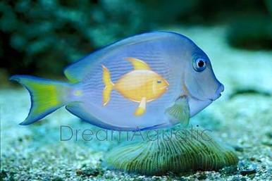 Atlantic Blue Tang - Acanthurus coeruleus - Blue Tang