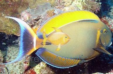 Bariene Tang - Acanthurus bariene - Bariene Surgeonfish - Blackspot Tang - Eye-Spot Tangs