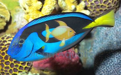 Blue Tang - Paracanthurus hepatus - Palette Surgeonfish - Hepatus Tang - Pacific Blue - Yellow-tail Blue Tang Fish - Hippo Tang