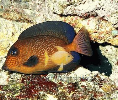 Chevron Tang - Ctenochaetus hawaiiensis - Hawaiian Bristletooth - Hawaiian Surgeon fish - Black Surgeonfish