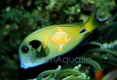 Eiblii Mimic Tang - Acanthurus pyroferus - Chocolate Surgeonfish