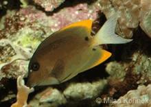 Flame Fin Tang - Ctenochaetus tominiensis - Tomini Surgeonfish - Bristletooth Tomini Tangs