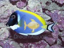 Powder Blue Tang - Acanthurus leucosternon - Powder Blue Surgeon Fish