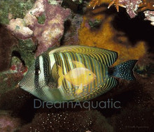 Sailfin Desjardni Tang - Zebrasoma desjardinii - Red Sea Sailfin Tang