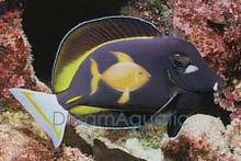 White Cheek Tang - Acanthurus nigricans - Whitecheek - Powder Brown - Gold-Rimmed Surgeon Fish