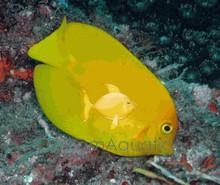 Yellow Mimic Tang - Mimic Lemon Peel Tang - Acanthurus pyroferus - Chocolate Surgeon - Mimic Surgeon - Yellow Mimic