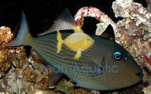 Blue Jaw Trigger Fish - FEMALE - Xanthichthys auromarginatus - Bluechin Triggerfish - Blue Throat Trigger Fish