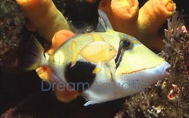 Bursa Trigger Fish - Rhinecanthus verrucosus - Blackbelly Triggerfish