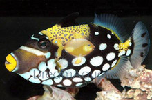 Clown Trigger Fish - Balistoides conspicillum - Clown Triggerfish