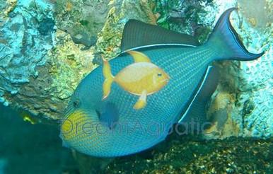 Hawaiian Black Trigger Fish - Melichthys niger - Black-Finned - Indian Black Triggerfish