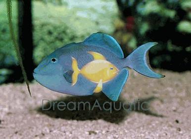 Niger Trigger Fish - Odonus niger - Red-Toothed - Niger Triggerfish