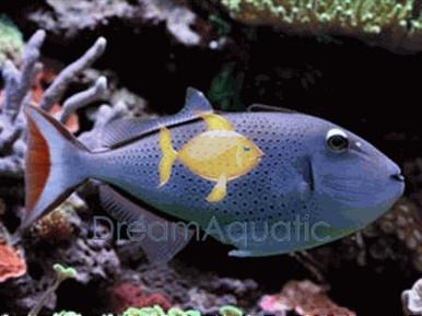 Sargassum Trigger - Xanthichthys ringens - Red Tailed Triggerfish - Sargassum Triggerfish
