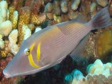 White Line Trigger Fish - Sufflamen bursa - Scythe Trigger - Bursa Trigger