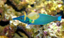 Brown Bird Wrasse (Female) - Gomphosus varius - Bird Wrasse - Green Bird Wrasse