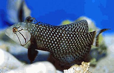 Dragon Wrasse - Novaculichthys taeniourus - Rockmover Wrasse