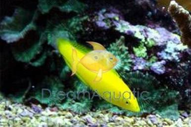 Golden Coris Wrasse - Halichoeres chrysus - Golden Wrasse - Canary Wrasse - Golden Yellow Coris