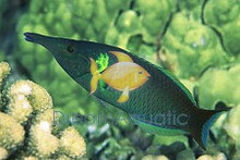 Green Bird Wrasse Male - Gomphosus varius - Bird Wrasse