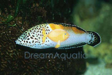 Twin Spot Coris Wrasse Juvenile - Coris aygula - Clown Coris - Twinspot Coris