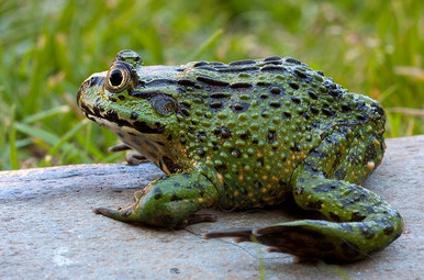 Chilean Wide Mouth Frog - Caudiverbera Caudiverbera - Chilean Widemouth Frog