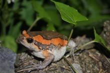 Chubby Frog - Kaloula pulchra