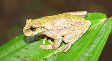 Golden Tree Frog - Plectrohyla chrysopleura