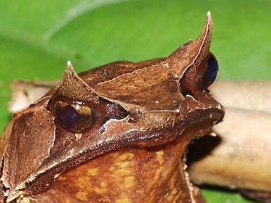 Malaysian Horned Frog - Megophrys nasuta