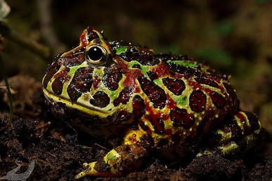 Pac-Man Brown Frog - Ceratophrys ornata