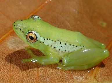 Parker Reed Frog - Hyperolius parkeri