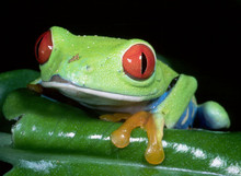 Red Eye Tree Frog - Agalychnis callidryas