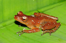 White Spotted Frog - Nyctixalus pictus