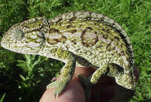 Carpet Chameleons - Chamaeleo lateralis