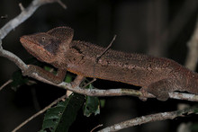 Oustalets Chameleons - Furcifer oustaleti