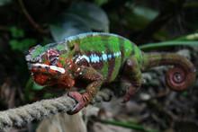 Panther Chameleons - Furcifer pardalis