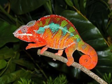 Panther Chameleons PAIR- Furcifer pardalis
