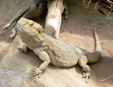 "Bearded 6 to 7"" Dragon - Pogona vitticeps"