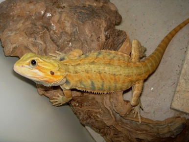 Bearded Citrus Babies Dragon - Pogona vitticeps - Citrus Phase Bearded Dragons