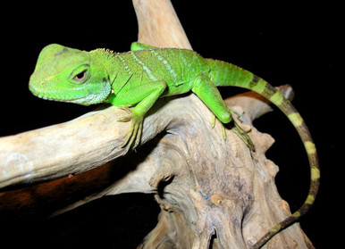 Chinese Water Small Dragon - Physignathus cocincinus - Green Water Dragon - Asian Water Dragon